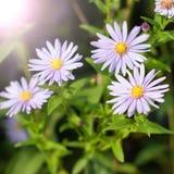 Purpurfärgade chrysanthemumblommor Royaltyfri Fotografi