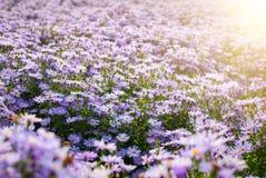 Purpurfärgade chrysanthemumblommor Royaltyfri Bild