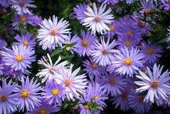 Purpurfärgade chrysanthemumblommor Royaltyfri Foto