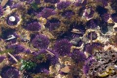 Purpurfärgade havsgatubarn Arkivbild