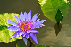 Purpurfärgade Lotus Arkivfoton