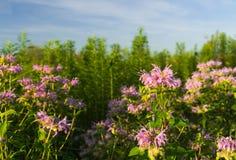Purpurfärgade vildblommor i Illinois Arkivbilder