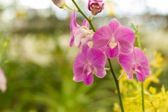 Purpurfärgade violetta orkidér i kolonilantgård Arkivfoto