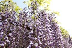 Purpurfärgade wisteriablommor Arkivfoto