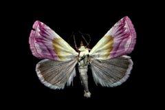 purpurina eublemma Στοκ φωτογραφίες με δικαίωμα ελεύθερης χρήσης