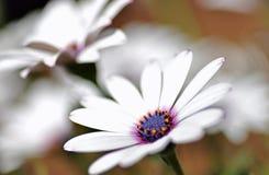 Purpurmitte des weißen Gänseblümchens Stockfoto