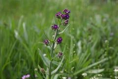 Purpurocaeruleum Lithospermum Стоковые Фото
