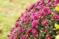 Purpurowa świetność Fotografia Royalty Free