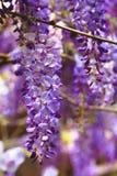 Purpurowa żałość kwitnie, Bobowy drzewo, Chińska żałość, Purpurowy winograd Zdjęcia Royalty Free