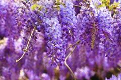 Purpurowa żałość kwitnie, Bobowy drzewo, Chińska żałość, Purpurowy winograd Obrazy Royalty Free