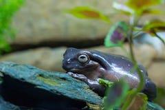 Purpurowa żaba Zdjęcia Stock