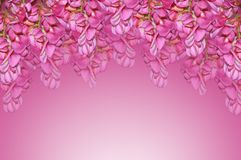 Purpurowa akacja Zdjęcie Royalty Free