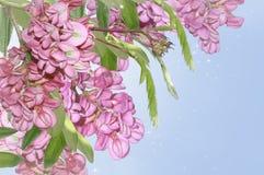 Purpurowa akacja obrazy stock