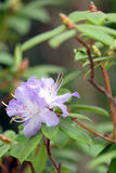 Purpurowa azalia na zieleni Obraz Royalty Free
