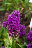 Purpurowa bagno orchidea Obrazy Royalty Free