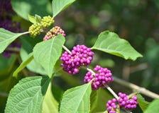 Purpurowa beautyberry roślina obraz royalty free
