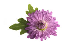 Purpurowa chryzantema obrazy stock