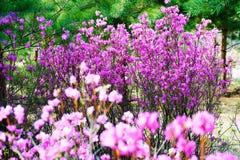 Purpurowa czerwona azalia w lesie Zdjęcie Royalty Free
