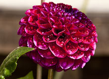 Purpurowa dalia Zdjęcie Royalty Free