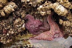 Purpurowa denna gwiazda wystawiająca niskimi przypływami Zdjęcia Stock