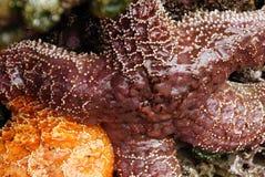 Purpurowa denna gwiazda wystawiająca niskimi przypływami Obraz Royalty Free