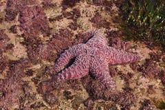 Purpurowa denna gwiazda wystawiająca niskimi przypływami Obraz Stock