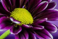 Purpurowa i żółta stokrotka makro- Fotografia Royalty Free