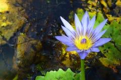 Purpurowa i żółta wodna leluja Fotografia Stock