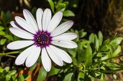 Purpurowa i biała stokrotka Obraz Stock
