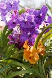 Purpurowa i pomarańczowa orchidea w ogródzie blisko Chang Mai, Tajlandia świeży Colorful-2 zdjęcie royalty free