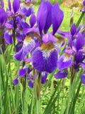 Purpurowa Irysowa łata Zdjęcia Royalty Free