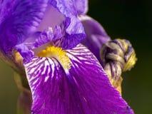 Purpurowa Irysowa brama Zdjęcie Royalty Free