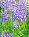 Purpurowa irysowa kwiat łąka Zdjęcia Royalty Free