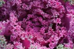 Purpurowa kapusta Fotografia Stock