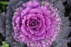 Purpurowa kapusta Zdjęcia Stock
