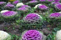 Purpurowa kapusta Zdjęcie Royalty Free
