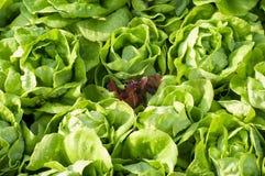 Purpurowa kapusta w Zielonej kapuscie Zdjęcie Stock