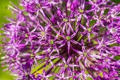 Purpurowa kwitnąca ornamentacyjna cebula na zielonym tle, makro- wizerunek obrazy stock