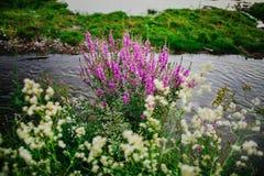 Purpurowa lawenda i biały chamomile kwitniemy na banku rzeka Obraz Royalty Free