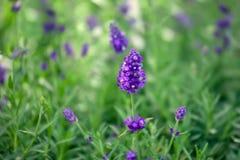 Purpurowa lawenda kwitnie w naturze Zdjęcie Royalty Free