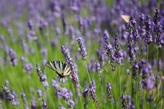Purpurowa lawenda kwitnie, zmierzch nad lato lawendy polem Bu Obrazy Royalty Free