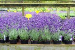 Purpurowa lawenda, lavandula, zasadza ogrodowego centrum Obrazy Royalty Free