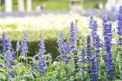 Purpurowa Lawendowa roślina Zdjęcie Stock