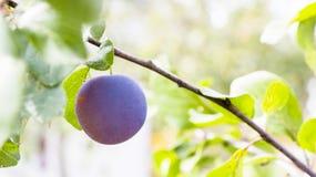 Purpurowa śliwka na drzewie Zdjęcia Stock