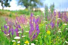 Purpurowa mędrzec kwitnie w łące. Zdjęcia Royalty Free