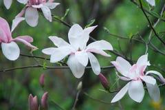 Purpurowa magnolia Obrazy Stock