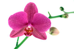 Purpurowa orchidea Obrazy Stock