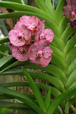 Purpurowa orchidea Fotografia Royalty Free