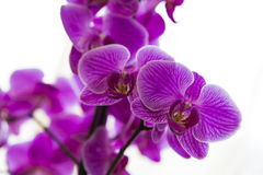 Purpurowa orchidea Fotografia Stock