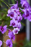 Purpurowa orchidea Obrazy Stock